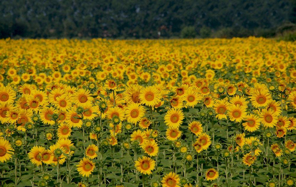 sunflowers field serenity
